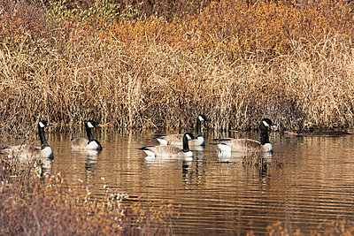Canada geese  and North american beaver , La Mauricie national park; Quebec, Canada - p442m1085116f by Philippe Henry