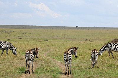 Zebras in wilderness - p5330233 by Böhm Monika