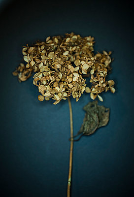 Dried flower - p971m1183202 by Reilika Landen