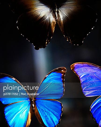 Blue morpho butterflies - p37817052 by Ron Koeberer