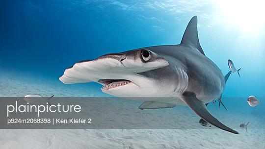 Great hammerhead shark, Alice Town, Bimini, Bahamas - p924m2068398 by Ken Kiefer 2