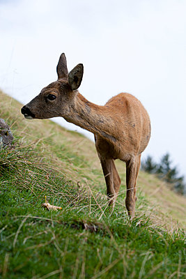 Young deer - p248m739466 by BY