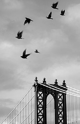 Small flock of birds flying past top of Manhattan Bridge, New York, USA. - p1100m1570973 by Mint Images