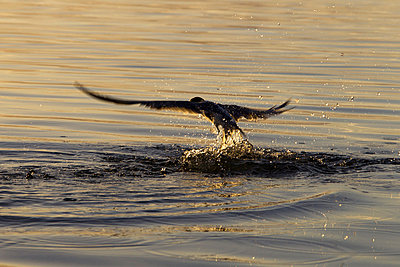 Seabird Splashing In Water  - p1014m745770 by Jeff Hornbaker
