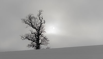 Single tree in snowy landscape - p816m1032260 by Bergersen, Ove