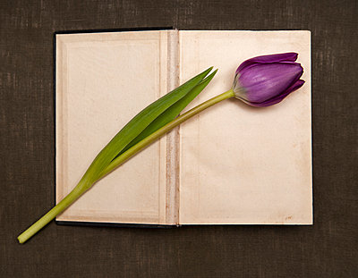 Tulip lying on open book - p971m889731 by Reilika Landen