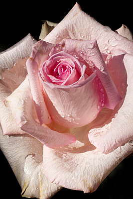 Close-up Of Rose On Black Background  - p1014m746475 by Virginie Miramon