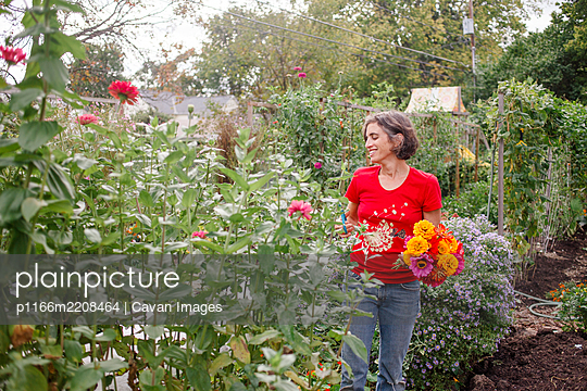 A smiling woman cuts a large bouquet of zinnias from a flower garden - p1166m2208464 by Cavan Images