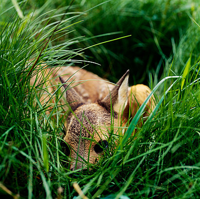 Animal amidst grass - p5751351f by Kenneth Bengtsson