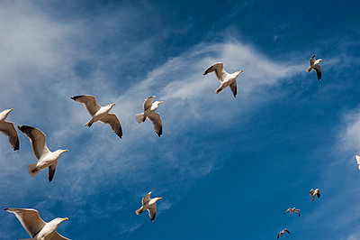 Flock of gulls in flight against a blue cloudy sky - p1047m1041664 by Sally Mundy
