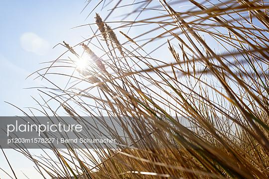 Dünengras im Sonnenschein - p1203m1578227 von Bernd Schumacher