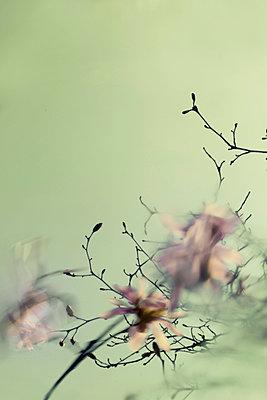 Star magnolia - p739m890386 by Baertels