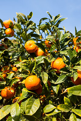 Oranges on tree - p280m1111770 by victor s. brigola