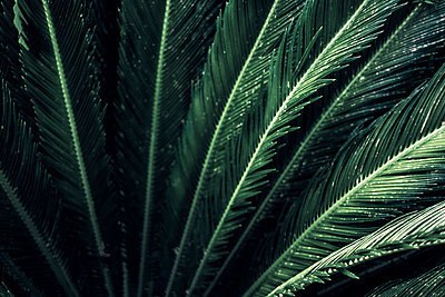 Close-up of leaves of a sago palm, Cycas Revoluta - p300m2102850 von Dirk Wüstenhagen
