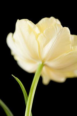 Tulip - p4950105 by Jeanene Scott