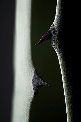 Thorn of an agave - p706m858315 by Markus Tollhopf