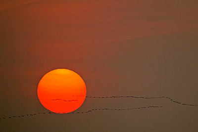 Germany, Mecklenburg-Western Pomerania, Common cranes, Grus grus, at sunrise - p300m929896f by Hans Clausen