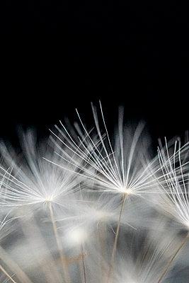 Blurred close up of dandelion clock - p1302m2184999 von Richard Nixon