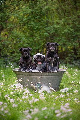 Drei junge Hunde in einer Zinkwanne - p1437m1502350 von Achim Bunz