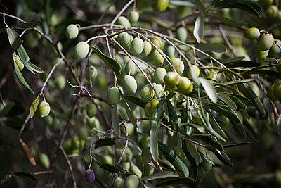 Green olives hanging on tree - p301m1102053f by Halfdark