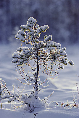 Young Scots pine covered in snow in winter, Abernethy, Strathspey, Scotland, UK, Europe - p871m1073581f by David Tipling