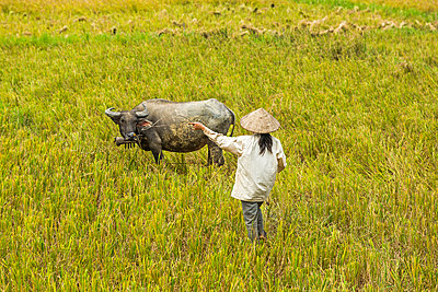 Woman with buffalo in rice paddy - p1427m2066985 by Steve Smith
