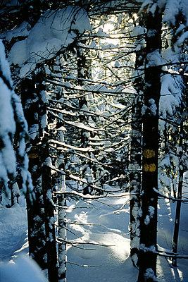 Coniferous forest - p2000721 by Eric Piche