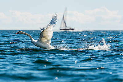 Swan and sailboat in sea - p312m1131429f by Fredrik Schlyter