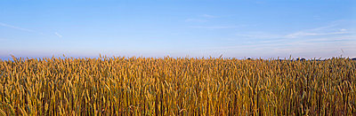 View of wheat field - p5756294f by Clevestam, Dick