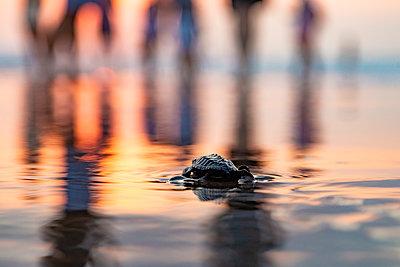 Baby turtle on beach at sunset, Seminyak, Bali, Indonesia - p1166m2202326 by Konstantin Trubavin