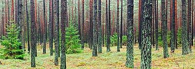 Nadelwald - p816m1032182 von Grønvold Svein