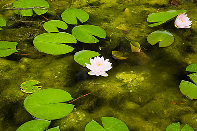 Lotus water lilies and lily pads on surface of pond - p924m805899f by Perry Mastrovito