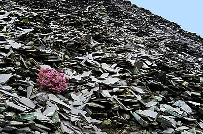 Heather Shrub Flowering on Slate Waste Slope - p1072m993536 by chinch gryniewicz