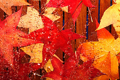 Wet autumn leaves of red gum - p300m2060408 by Thomas Jäger
