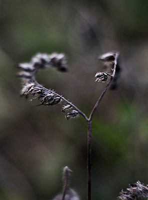 Dry leaves on twig - p312m2080047 by Pernille Tofte