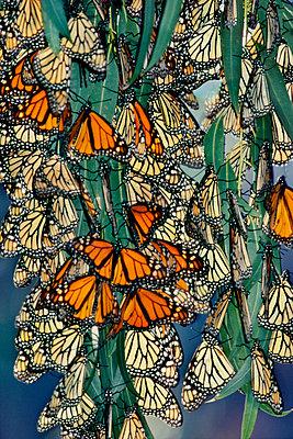 Monarch butterflies overwintering, Danaus plexippus, Monterey Bay, California - p1100m875018 by Frans Lanting