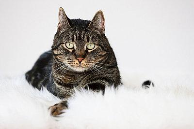 Cat lying on fur, portrait - p30016346f by Fotofeeling