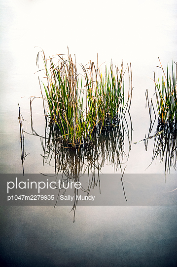 Close-up of reeds in river water with reflection - p1047m2279935 by Sally Mundy