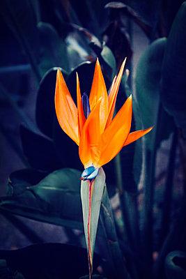 Crane flower, Strelitziaceae, close-up - p300m2102779 von Dirk Wüstenhagen