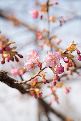 Cherry blossoms - p307m1005820f by 12kagetu