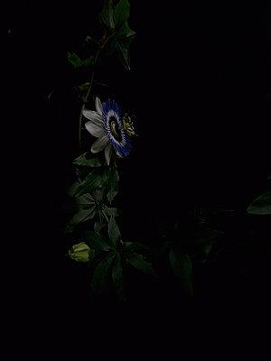 Passion flower - p444m898528 by Müggenburg