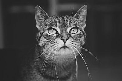 Tabby cat - p1540m2100967 by Marie Tercafs