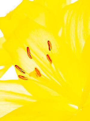 Yellow lily flower - p401m2278080 by Frank Baquet
