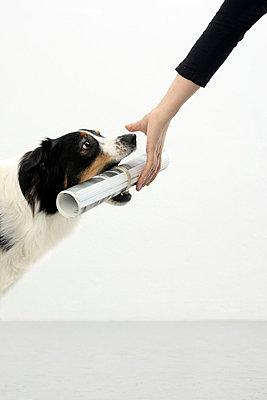 Australian Shepherd - p4030871 by Helge Sauber