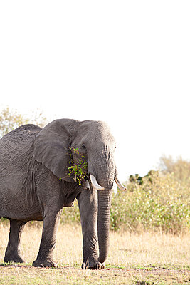 African cow elephant - p533m1215495 by Böhm Monika
