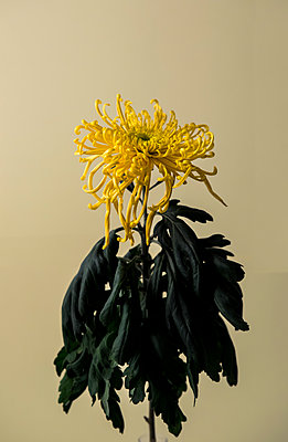 Withered chrysanthemum - p1371m2045778 by virginie perocheau