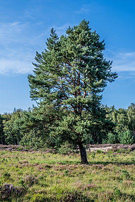 Heidelandschaft mit Baum - p401m2209325 von Frank Baquet