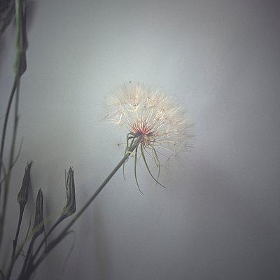 Single dandelion - p4440175 by Müggenburg