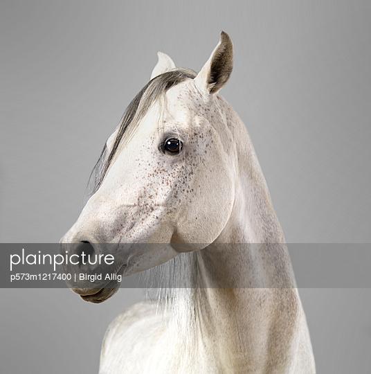 Pferdeportrait - p573m1217400 von Birgid Allig