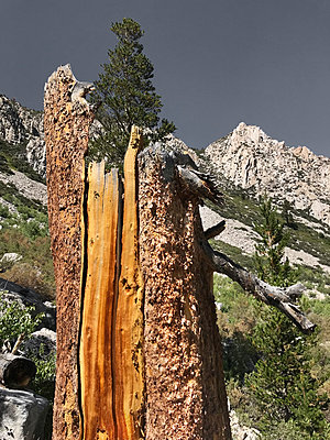 Remains of a fir tree hit by lightning - p1048m2025561 by Mark Wagner